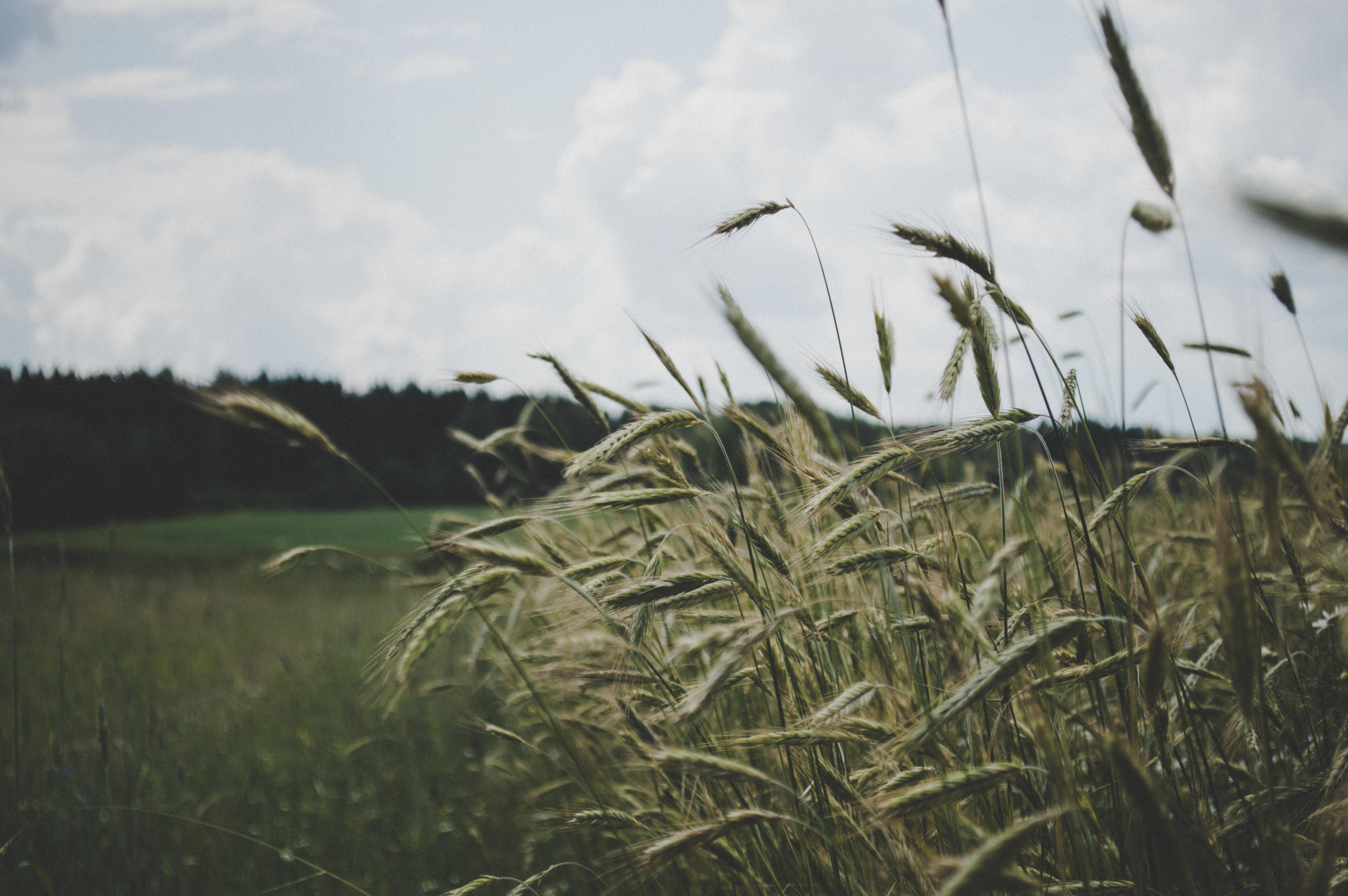 tall grass in a field